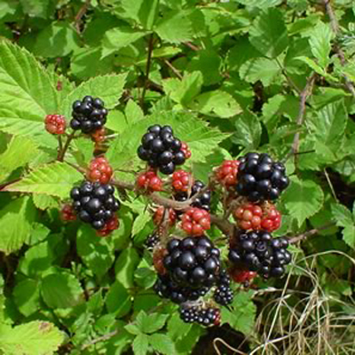blackberries on bush