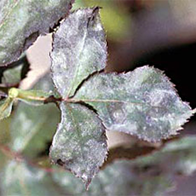 mildew rose leaf