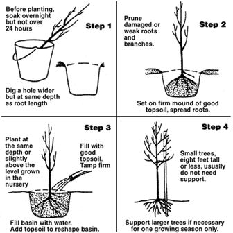 planting bare root 1