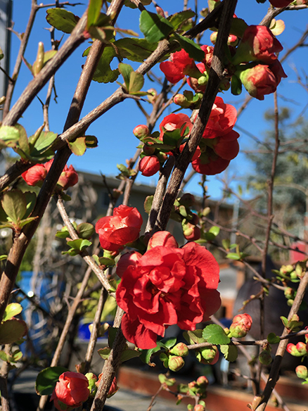 red charlot flowering quince